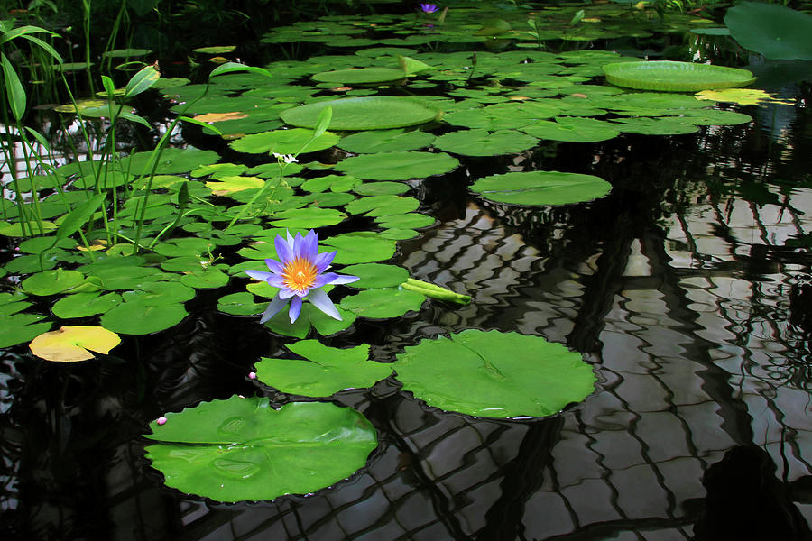 Water Lily With Reflections by Bonnie Follett