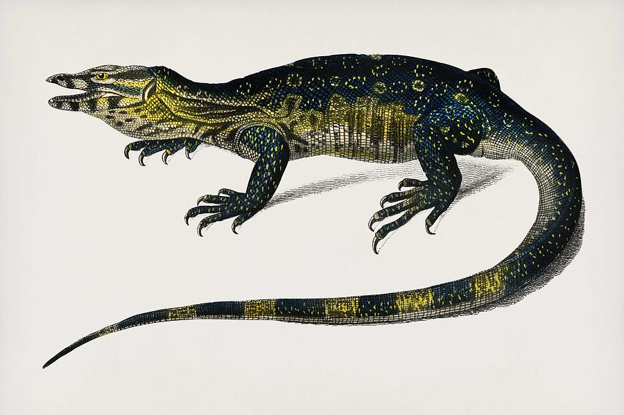 Water monitor  Varanus  illustrated by Charles Dessalines D Orbigny  1806 1876  by Celestial Images