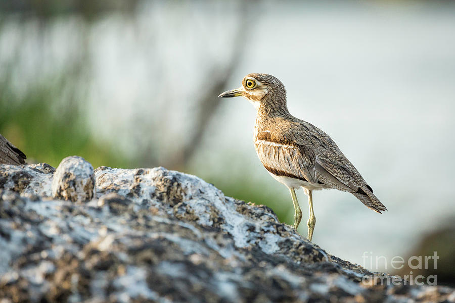 Water Thick Knee Bird by Timothy Hacker