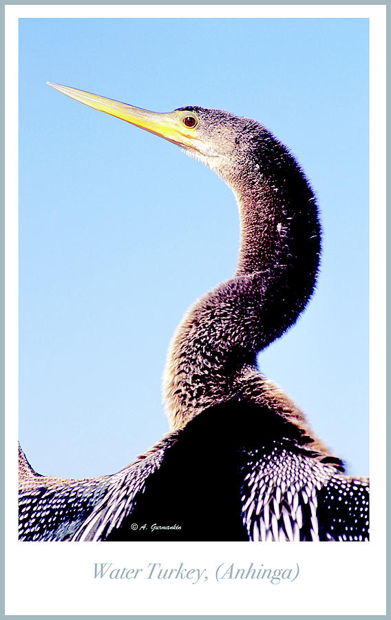 Water Turkey, Anhinga, Animal Portrait by A Gurmankin