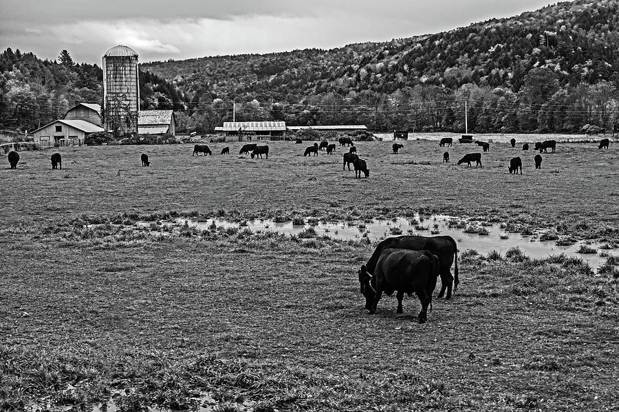 Waterbury VT Cattle Farm Silo Fall Foliage New England Grazing Black and White by Toby McGuire