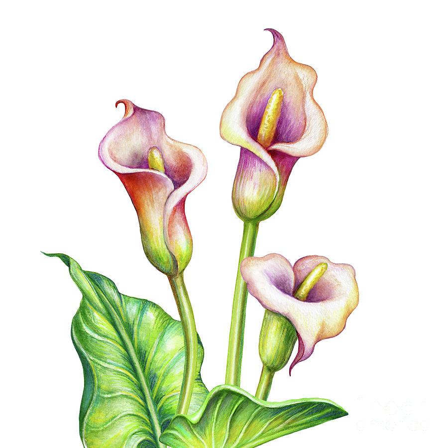 Watercolor Illustration, Calla Lillies Digital Art by Wacomka