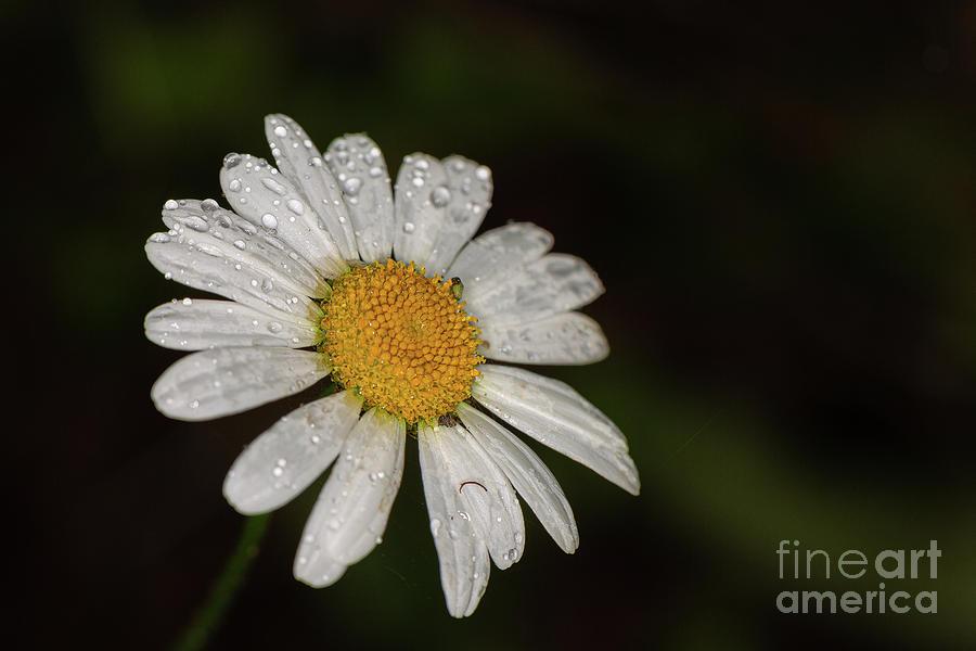 Waterdrop Daisy by Brian Roscorla