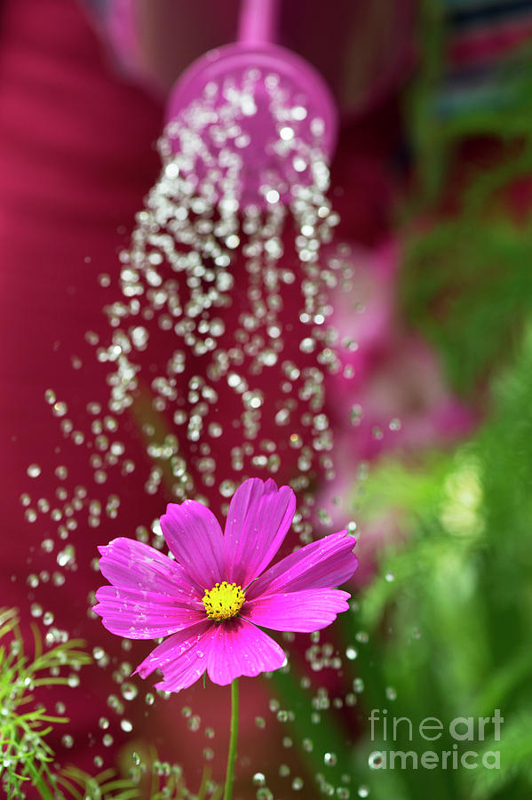Cosmos Bipinnatus Photograph -  Watering A Cosmos Flower by Tim Gainey