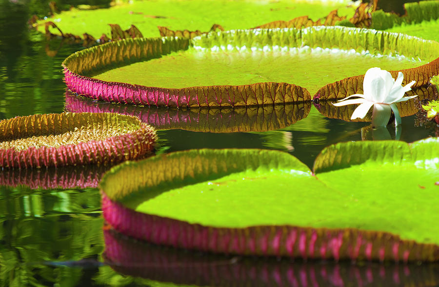 Waterlily Pads, Pamplemousses Gardens Photograph by Jean-pierre Pieuchot