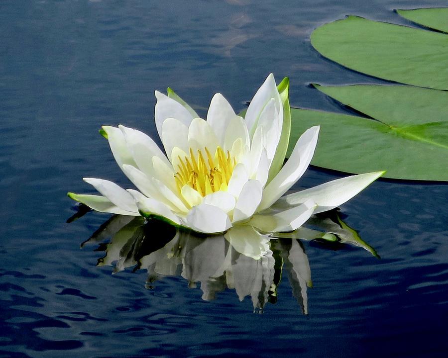 Waterlily Reflection  by Sarah Lilja