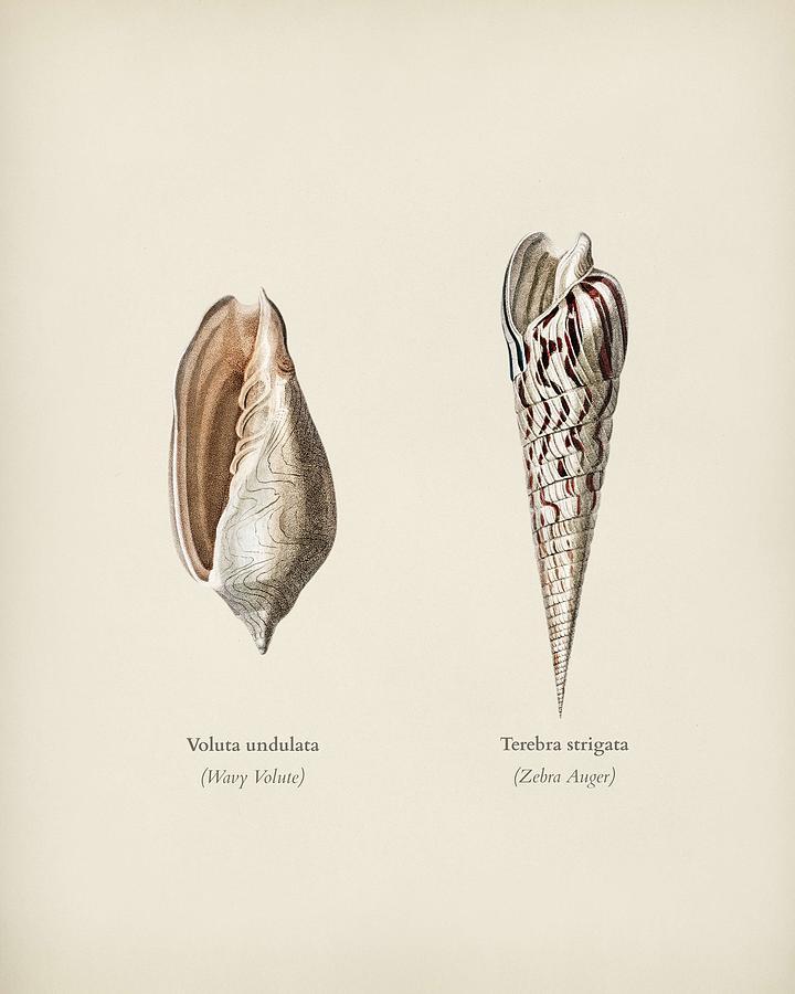 Wavy Volute  Voluta undulata and Zebra Auger  Terebra strigata  illustrated by Charles Dessalines D by Celestial Images