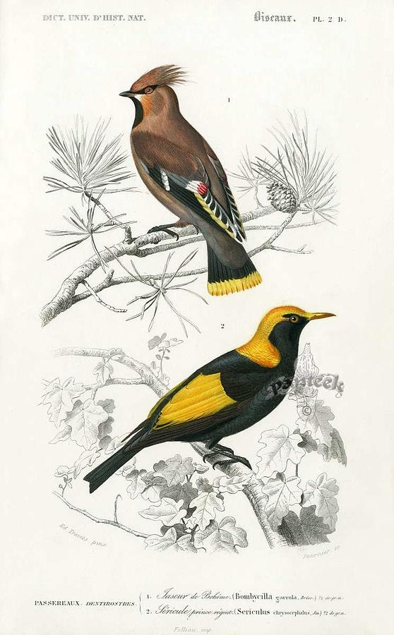 Waxwing Bombycilla garrula   D Orbigny Bird from Dictionnaire Universel d Histoire Naturelle 1849 by Celestial Images