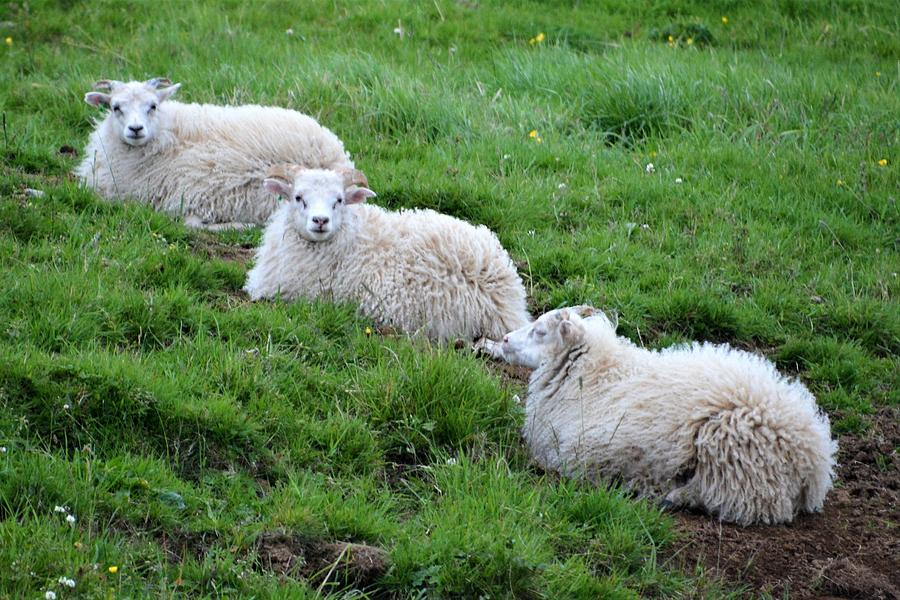 Sheep Photograph - We Three Sheep by Norman Burnham
