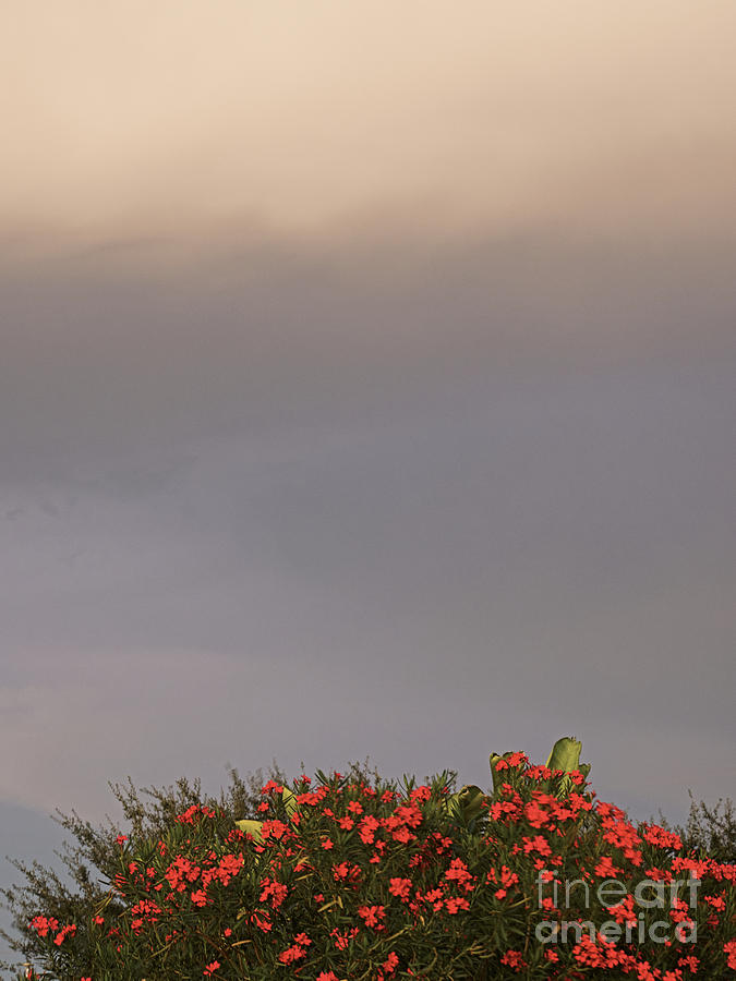 Weather the Oleander by Gary Richards