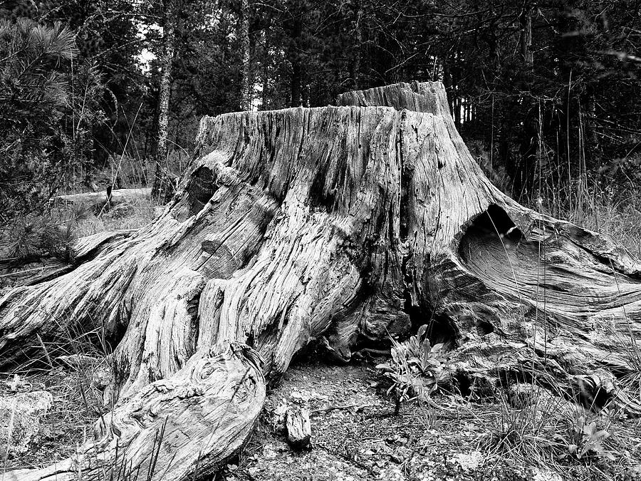 Weathered Ol' Tree Stump Landscape Photograph by Keith Dotson