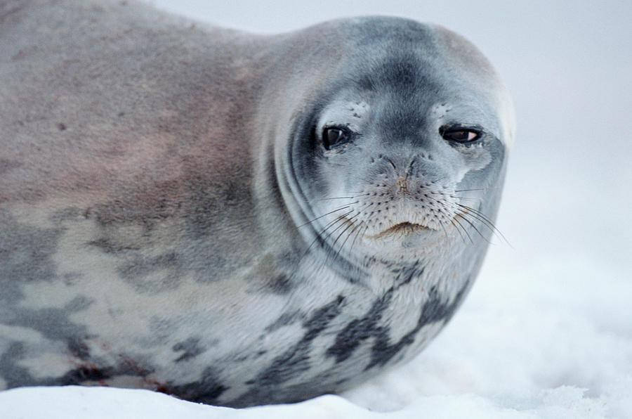 Weddell Seal Leptonychotes Weddellii On Photograph by Eastcott Momatiuk