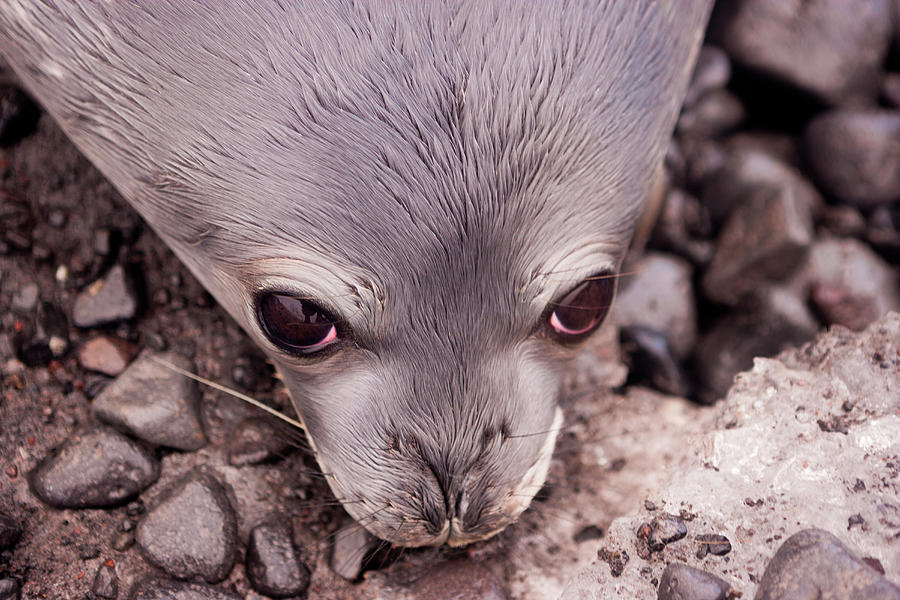 Weddell Seal Pup, Antarctica Photograph by Mint Images/ Art Wolfe