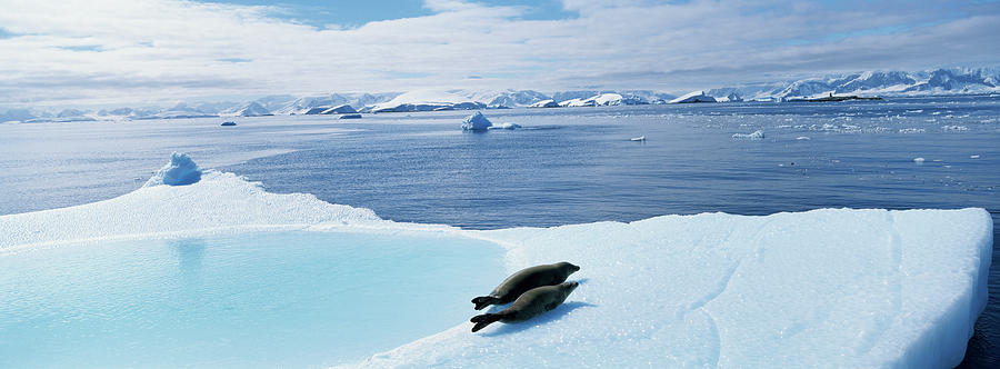 Weddell Seals Leptonychotes Weddelli On Photograph by Paul Souders