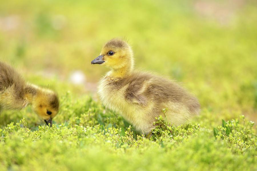 Week old gosling by Lynn Hopwood