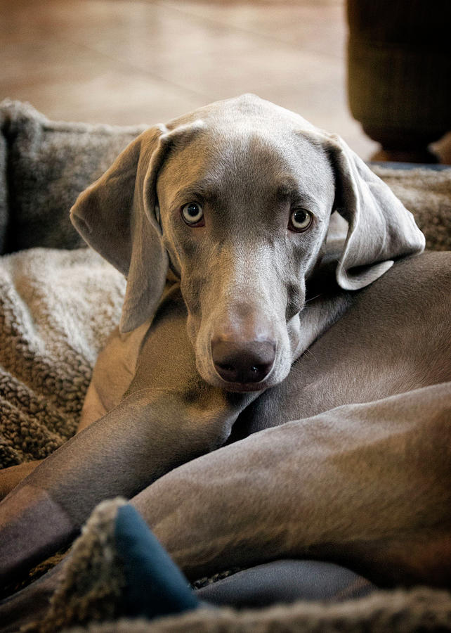 Weimaraner Photograph by Kevin Sherman