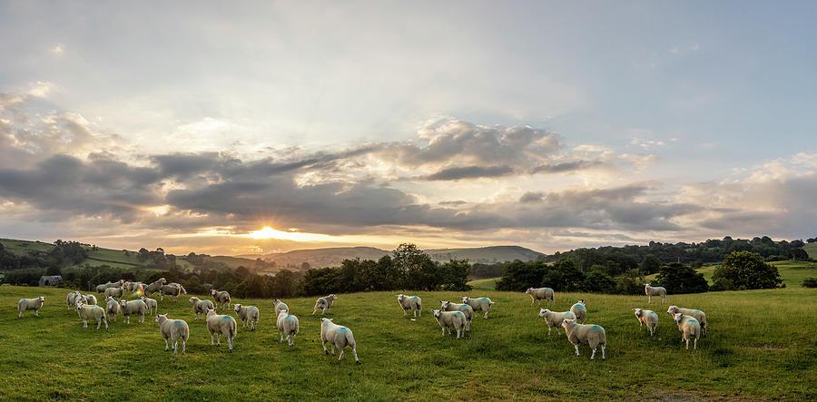 Welsh Sheep Sunrise Landscape  by John McGraw