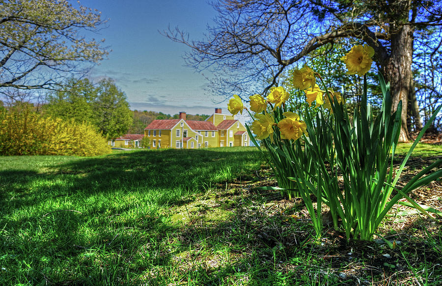 Wentworth Daffodils by Wayne Marshall Chase