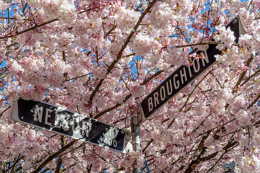 West End Cherry Blossoms by Ross G Strachan