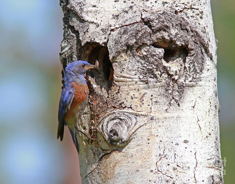 Western Bluebird Photograph - Western Bluebird by Gary Wing
