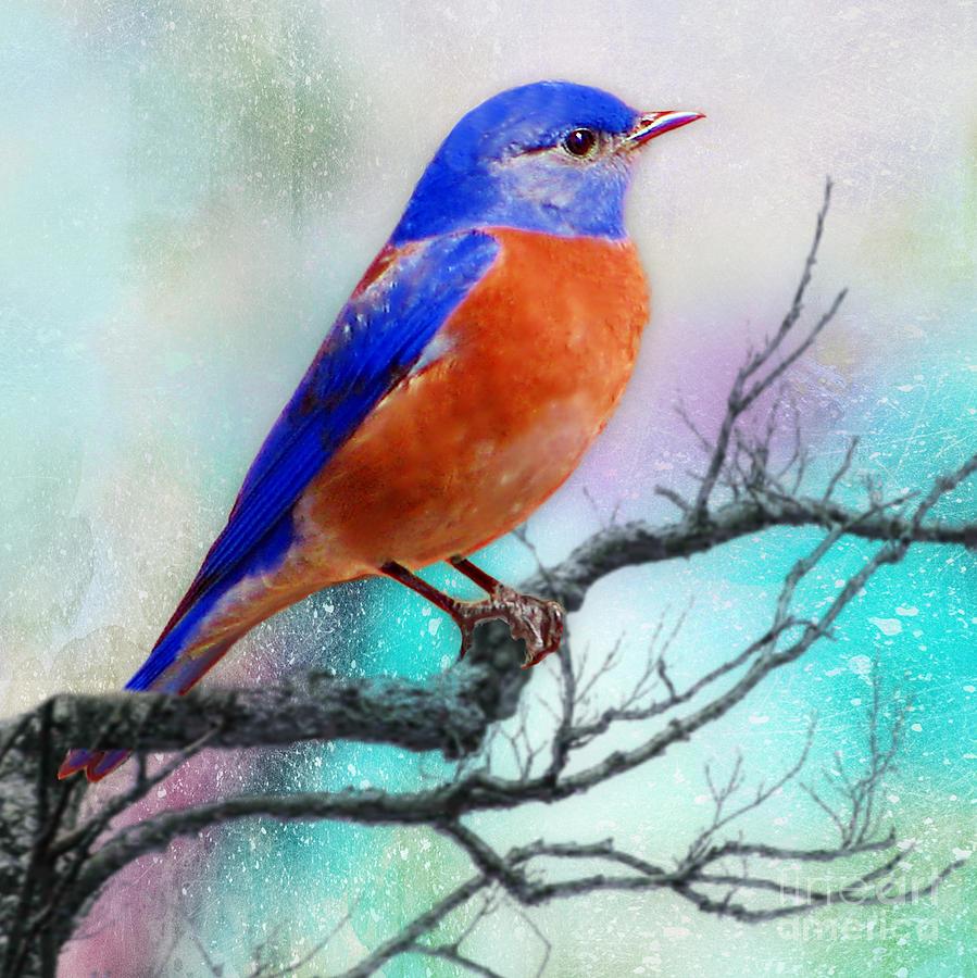 Western Bluebird by Morag Bates