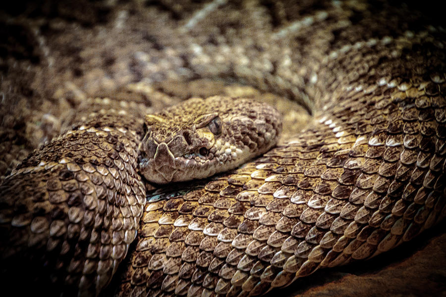 Western Diamondback Rattlesnake by Donald Pash