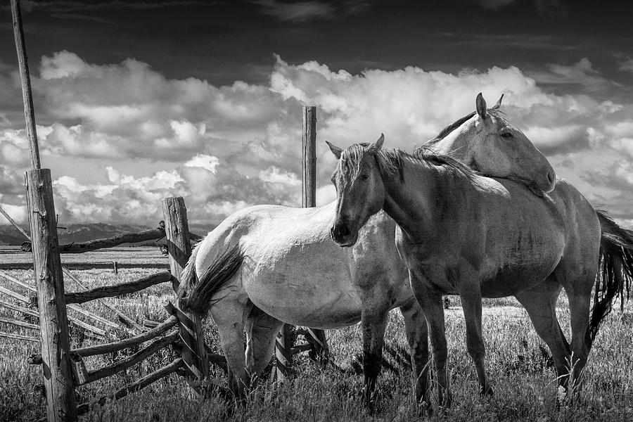 Western Horses In The Pasture By A Wooden Fence In Black And White Photograph