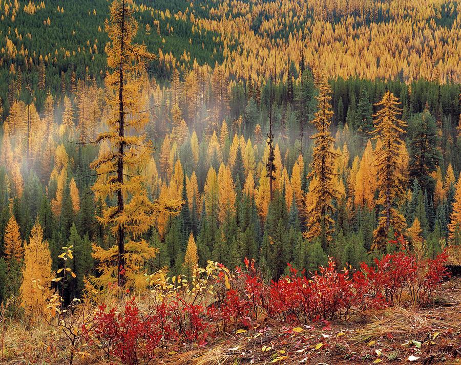 Washington Photograph - Western Larch Forest Autumn by Leland D Howard