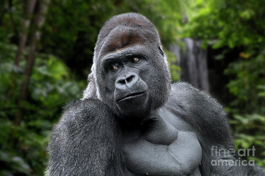Western Lowland Gorilla by Arterra Picture Library