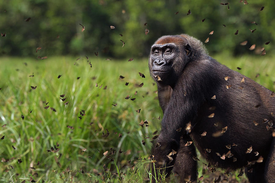 Western Lowland Gorilla Female With Photograph by Anup Shah