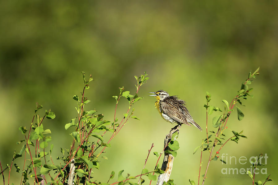 Western Meadowlark by Beve Brown-Clark Photography