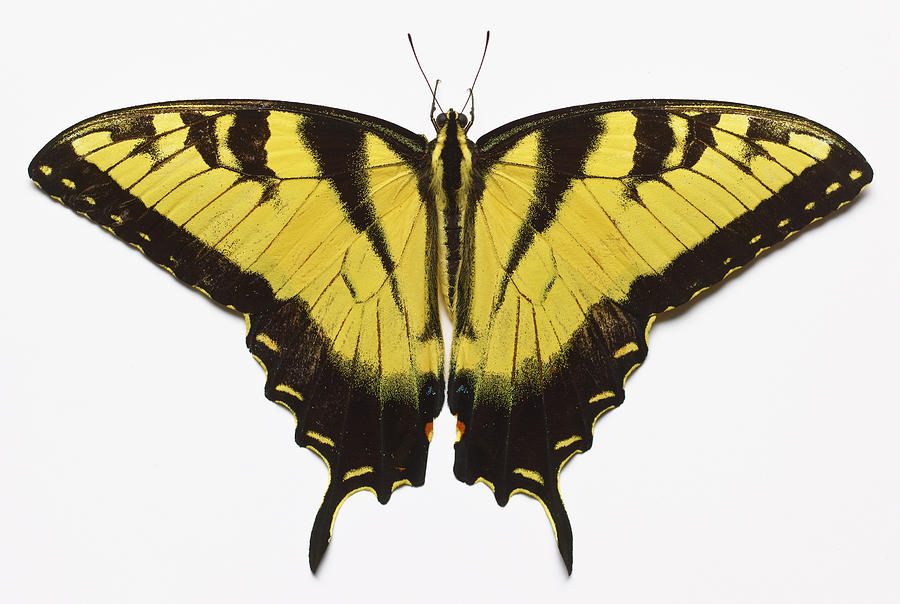 Western Tiger Swallowtail Butterfly Photograph by Don Farrall