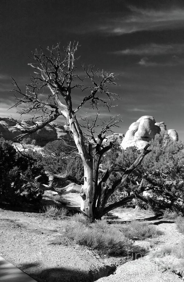 Western Trees by Marcia Lee Jones