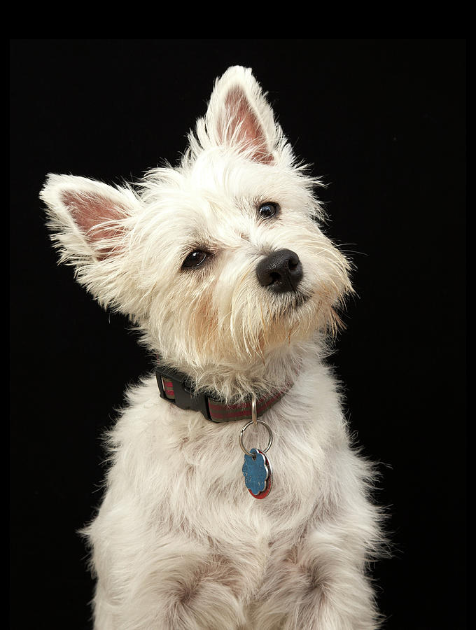 Westie West Highland Terrier With Photograph by M Photo