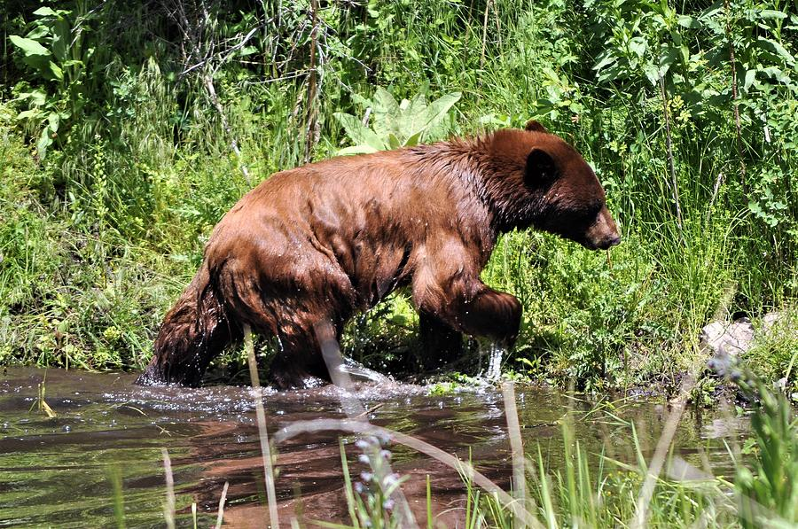 Wet Bear by Mike Helland