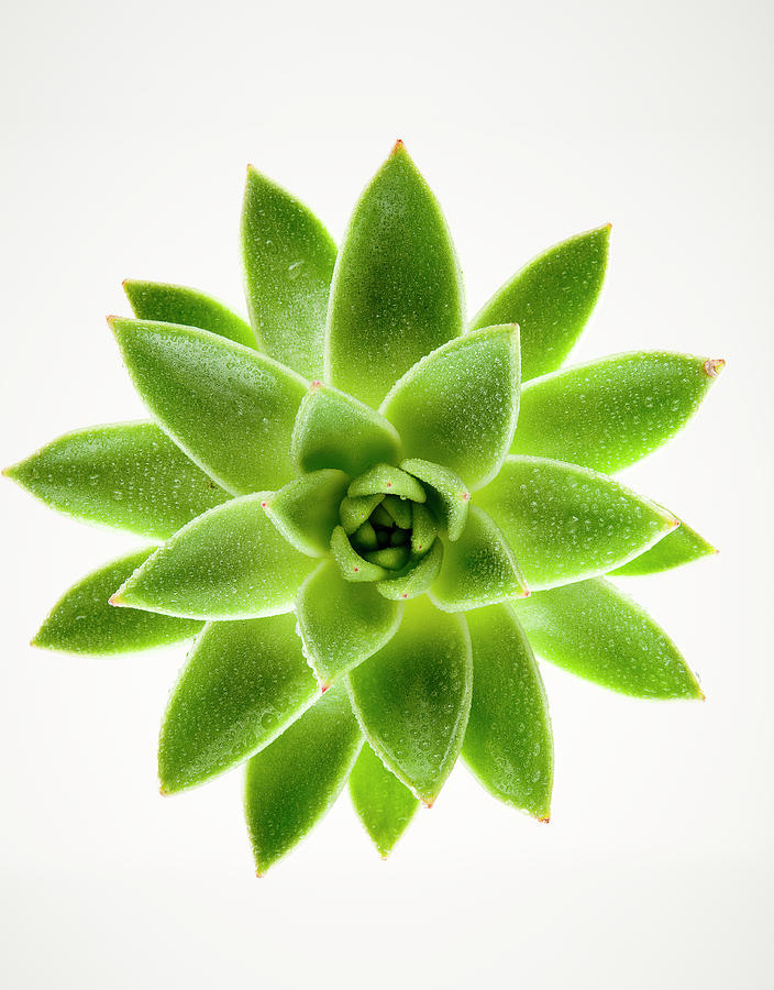 Wet Green Succulent Plant On White Photograph by Chris Stein