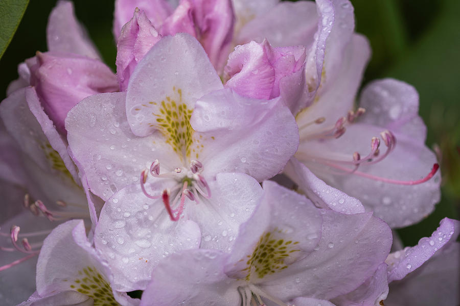 Wet Rhododendrons by Robert Potts