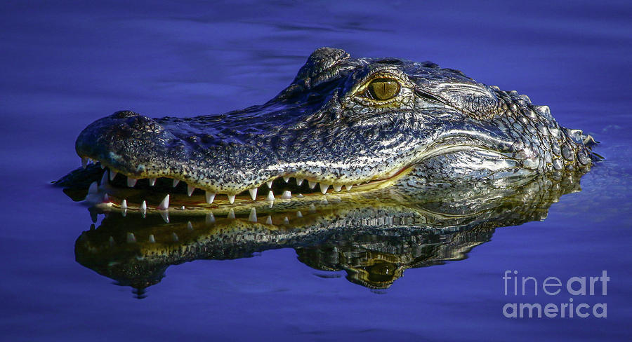 Wetlands Gator Close-Up by Tom Claud