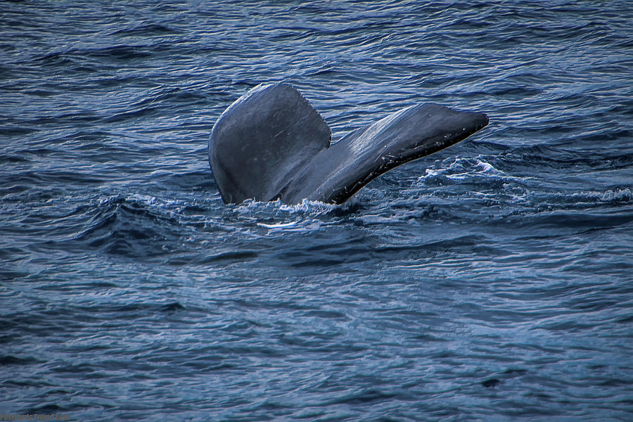 Whale of a Tail by Gaylon Yancy