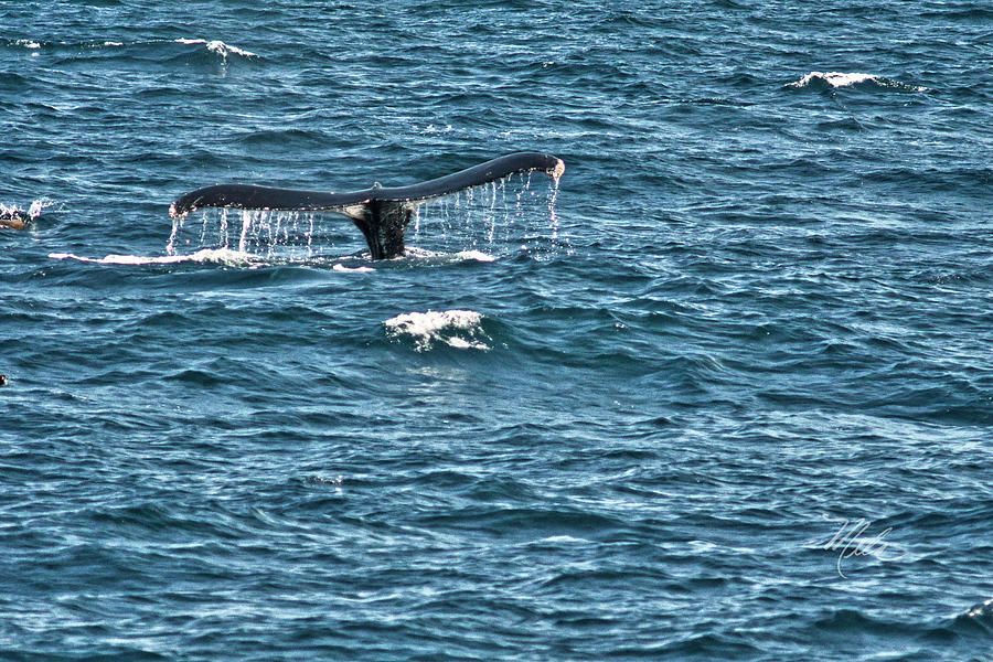 Humpback Whale Tail Photograph - Whale Of A Tail by Meta Gatschenberger