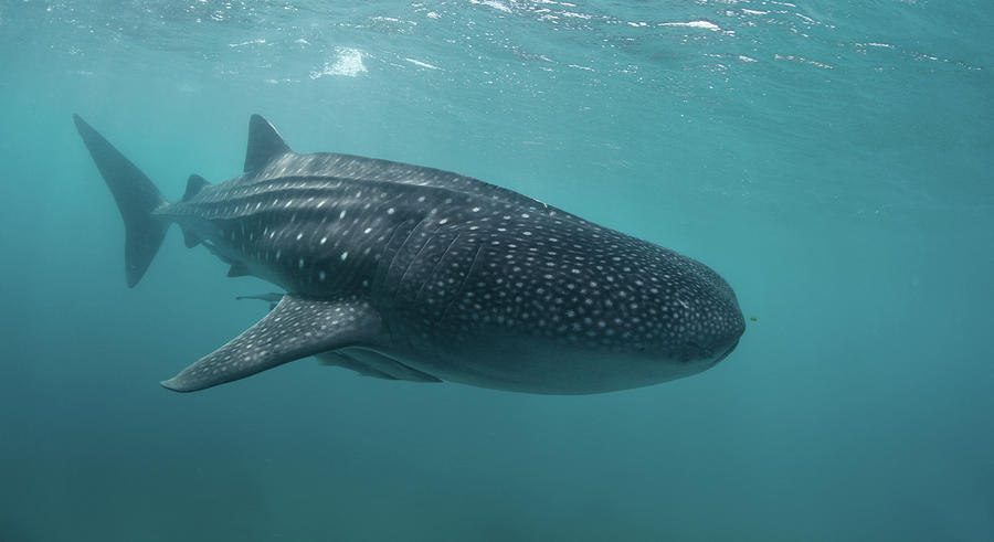 Whale Shark Photograph by Nature, Underwater And Art Photos. Www.narchuk.com