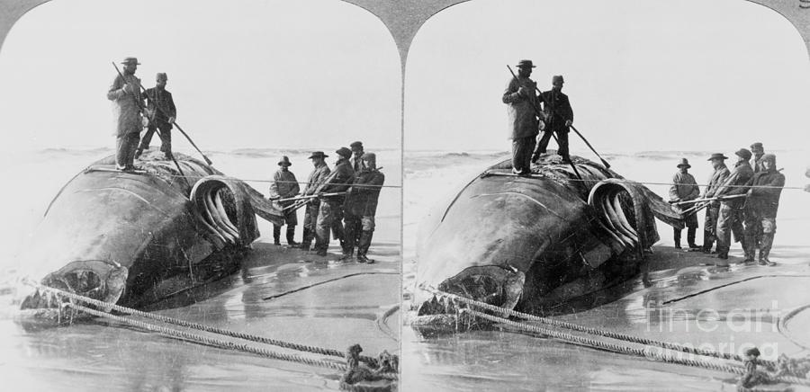 Whalers On Beach With Slain Whale Photograph by Bettmann