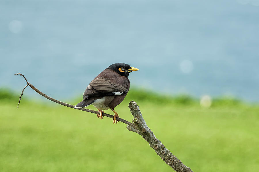 What's Common About a Common Myna by Belinda Greb