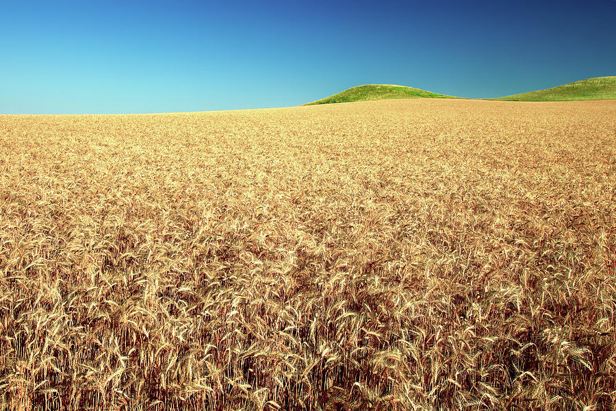 Wheat Photograph - Wheat And Mounds by Todd Klassy