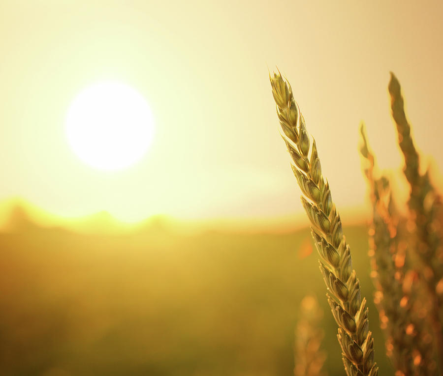 Wheat At Sunset Photograph by Gilaxia