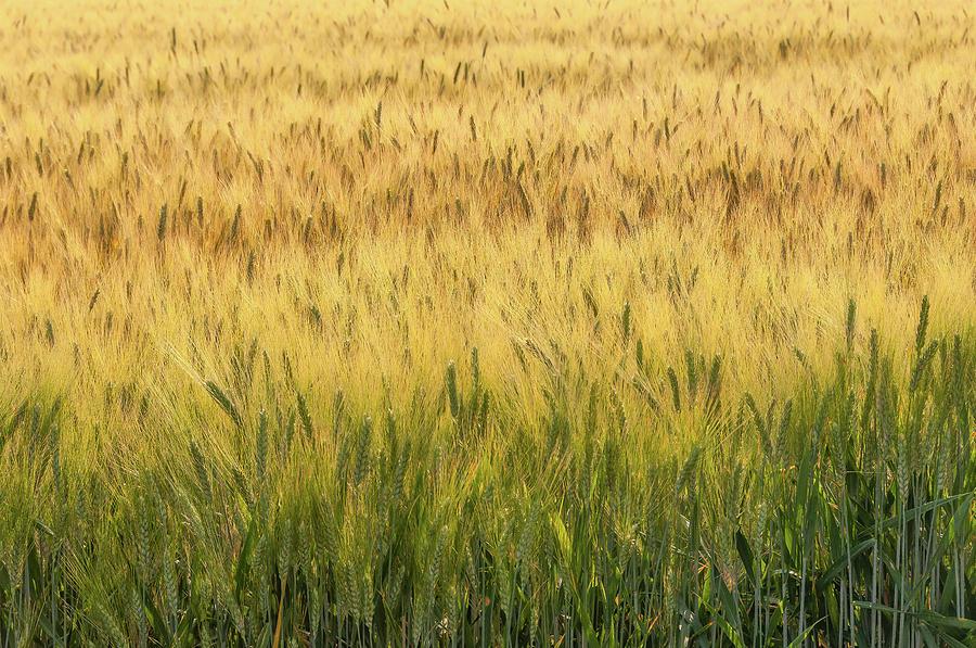 Wheat field #1 by Dimitris Sivyllis