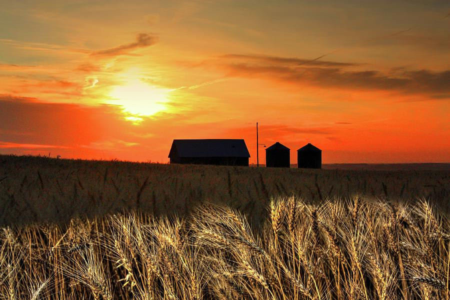 Wheat sunset  by David Matthews