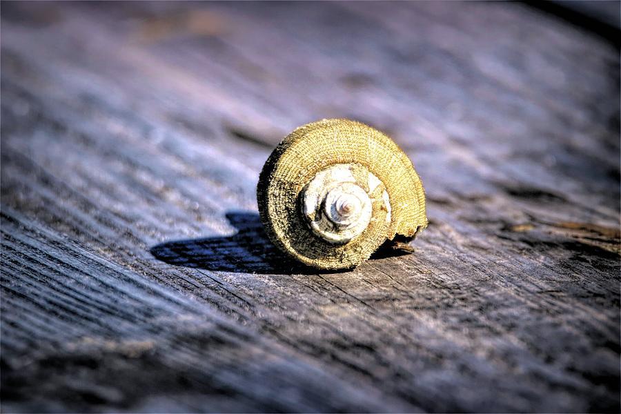 Whelk Shell by Karen Silvestri