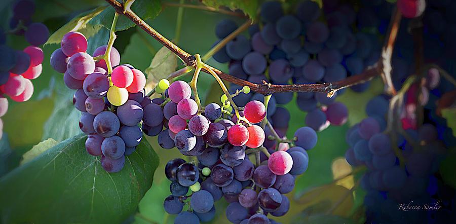 Where the Wine Begins by Rebecca Samler