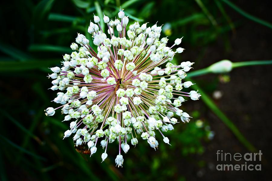 White Allium Photograph